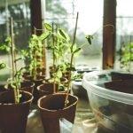 problemas no cultivo indoor
