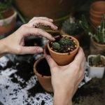 recomeçar o cultivo indoor