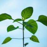 desenvolvimento da planta