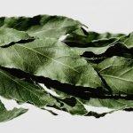 secagem e cura de ervas