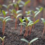 Germinação: confira dicas para não errar no início do cultivo. Passo a passo para germinar uma semente
