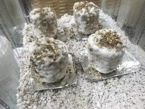 terrario para cogumelo com fundo de perlita