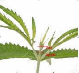 poda de cannabis apical fim diferença
