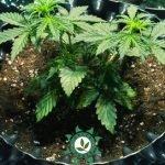 Poda de Cannabis: Conheça os tipos de podas e suas funções