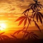 Fotoperíodo da Cannabis: 18/6, 20/4 ou 24 horas de luz sem escuro, saiba mais!